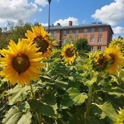 Kukkivia isoja auringonkukkia taustalla iso punatiilinen rakennus