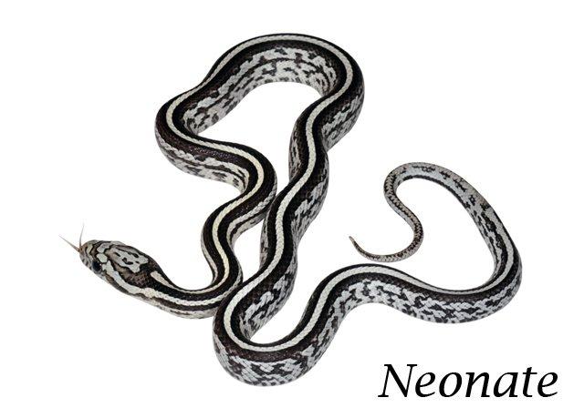 anery tessera corn snake - photo #15