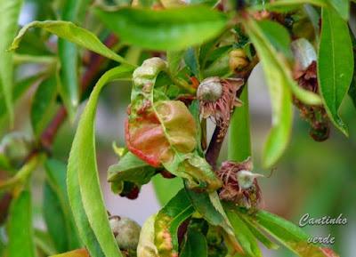 Lepra dos pessegueiros  (Taphrina deformans)