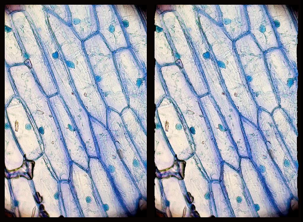 Células de epidermis de cebolla en 3D