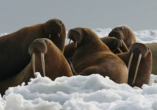 Photo of walruses.