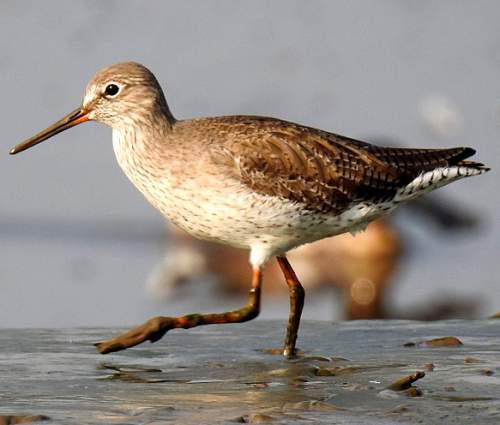 Indian birds - Image of Common redshank - Tringa totanus