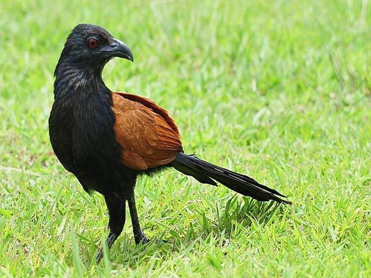 Manfaat Minyak Burung Bubut Alias Herba Sinergi Hpai Butbut Adalah