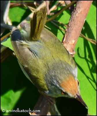 Common Tailorbird, Tailorbird, Tinybird