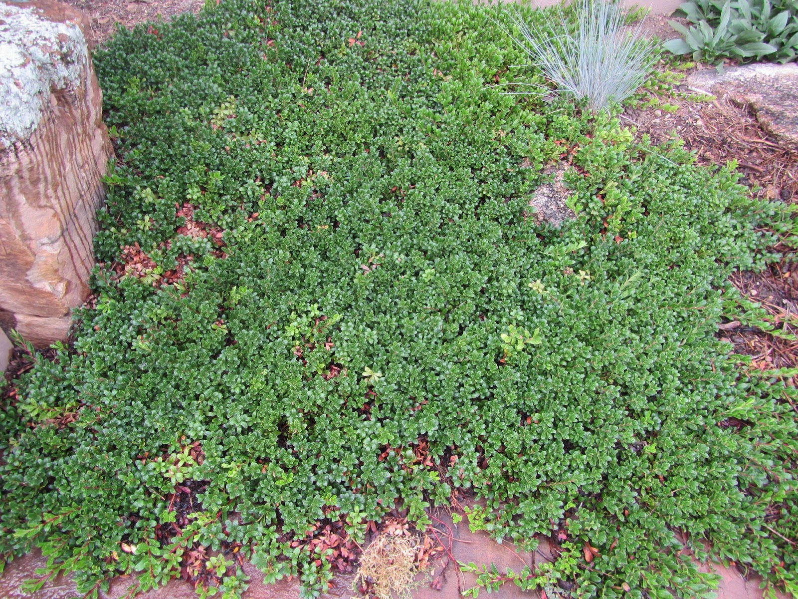 Ground Cover With Tiny White Flowers Ri81 Roccommunity