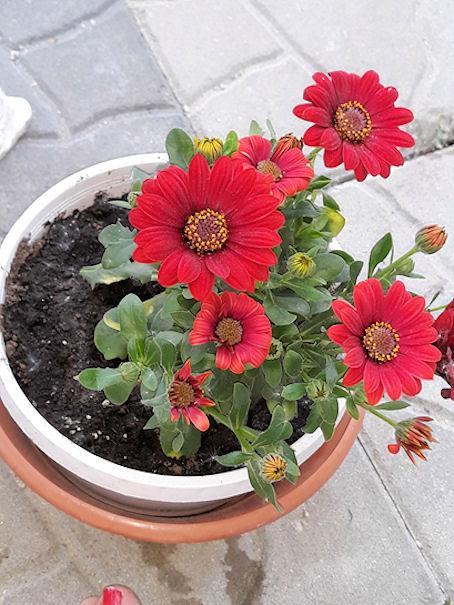 Kirjoittajan kertoman mukaan punainen kukkanen, jonka terälehtiä naakat pitivät salaattinaan.