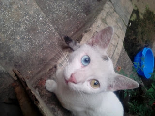 A Cat with Two different colored eyes