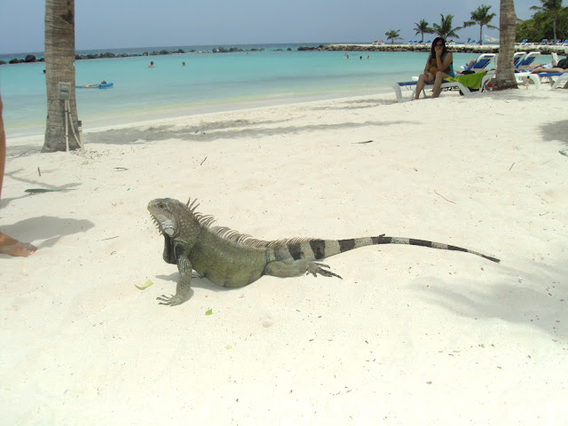Iguana na praia particular do Hotel Renaissance, Aruba