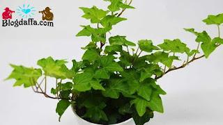 Tanaman hias daun Ivy dapat digunakan sebagai pembersih udara
