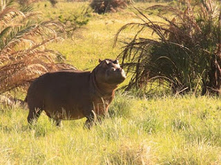 Limpopo Woman Killed By A Hippo