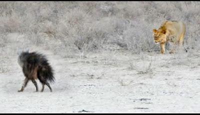 Hyena disergap tiga singa