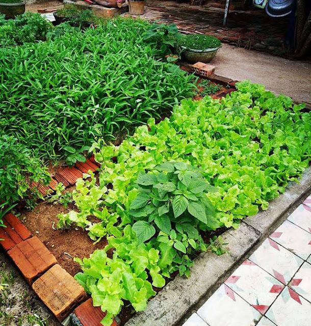 Vườn rau xanh sạch phục vụ du khách, nhìn đã thấy hấp dẫn