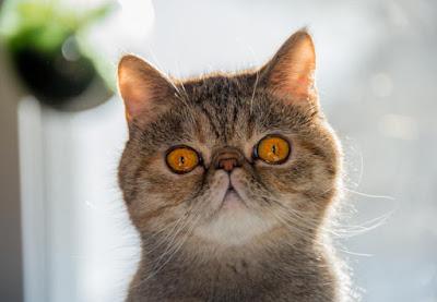 Sejarah Kucing Exotic