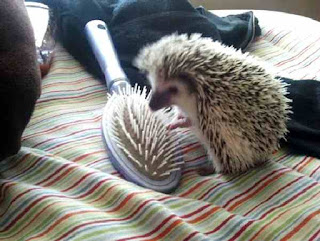 Hedgehog finds a friend