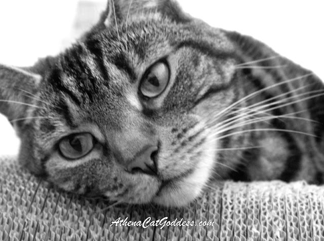 tabby cat close up in black and white