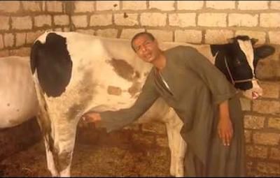 بقرة فى مصر لا يوجد لها مثيل فى العالم يسموها البقرة المبروكة... عندما تشاهد الموضوع سوف تعرف بالفعل هى بقره لا يوجد لها مثيل فى العالم