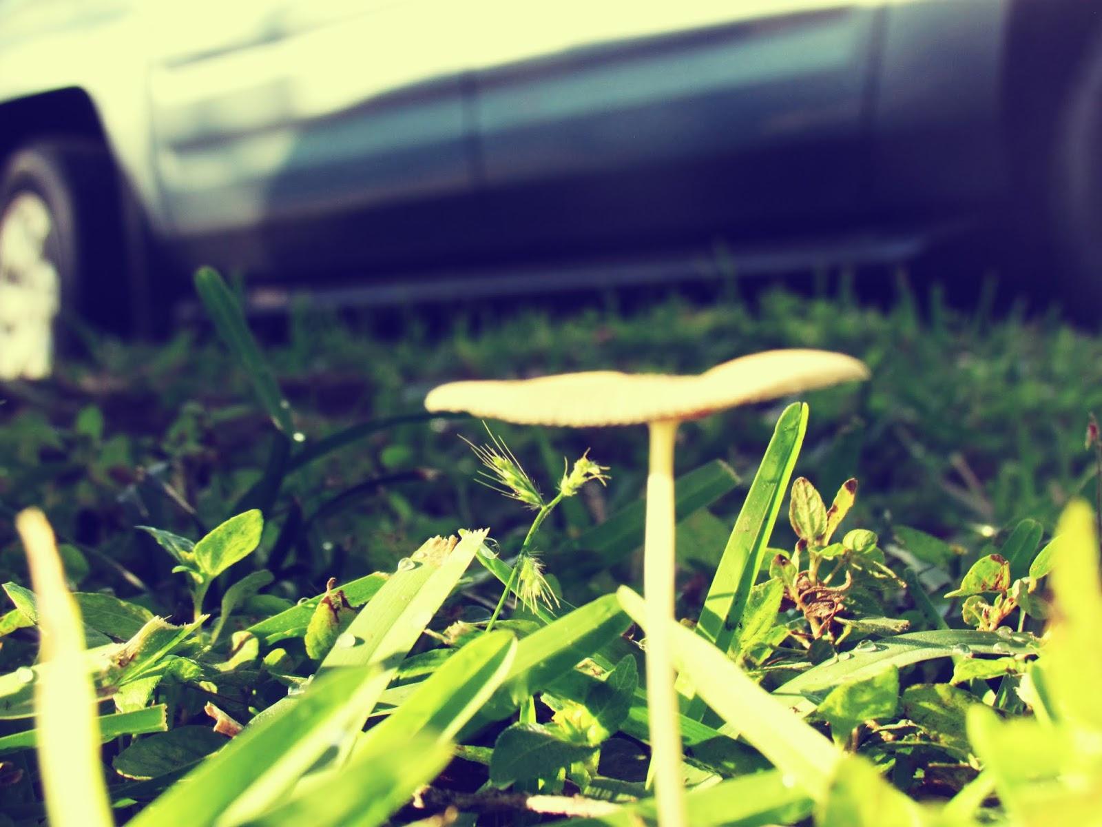 A Skinny Mushroom Fungus Growing By a Car in Urban Neighborhood in Tropical Florida Location