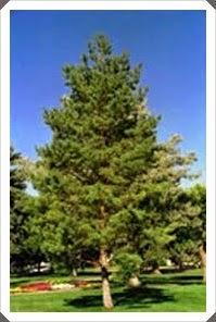 Rüyada Kuru Çam Ağacı Görmek