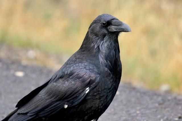 aprende ingles animal cuervo grande astuto negro raven exterior campo