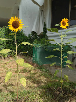 Two sunflowers growing together