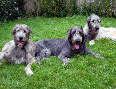 Irish Wolfhound Highly and Big Dogs on Breeders ...
