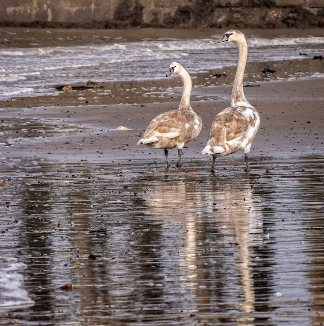 Photo of two of the cygnets down on the shore