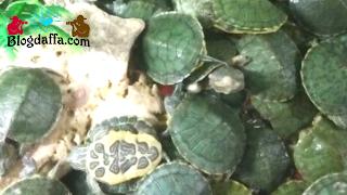 Cara merawat kura-kura yang baik dan benar