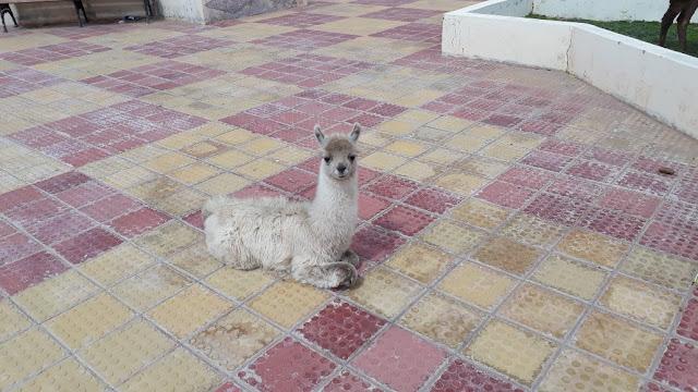 Das kleine weiße Lama scheint schon müde vom fressen zu sein