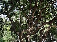 Arrow poison tree, Foster Botanical Garden - Honolulu, HI