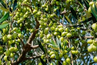 Rio de Contas vai produzir o primeiro Azeite de Oliva com azeitonas colhidas na Bahia