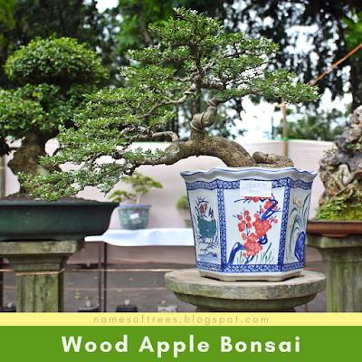 Wood Apple Bonsai