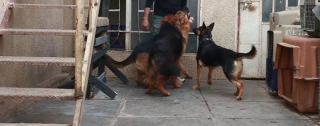 كلب بوليسي cham police