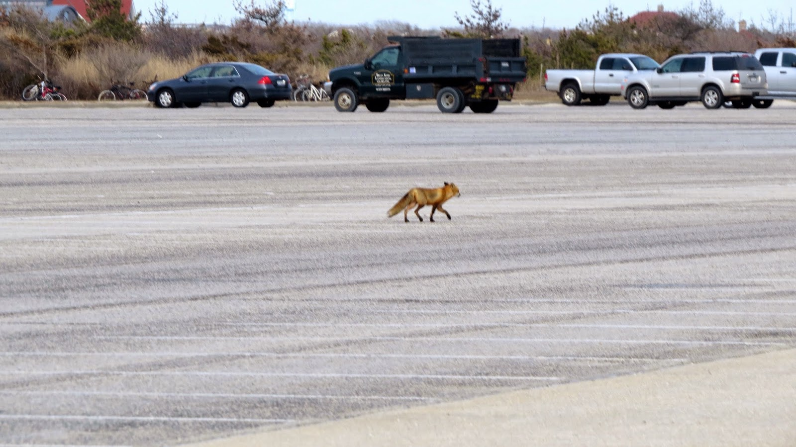Fantastic-Mister-Fox-Takes-Over-the-Robert-Moses-Parking-Lot-at-Field-Five