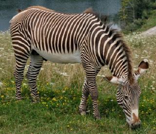 Grevys zebra is named after French president François Paul Jules Grevy
