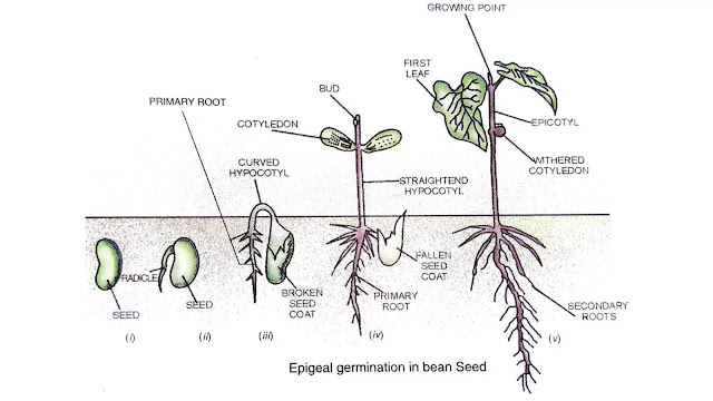 what is the process of seed germination
