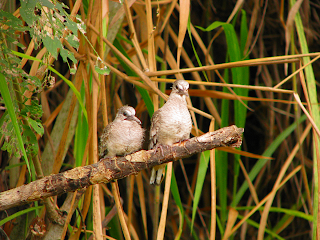 two young Inca Doves