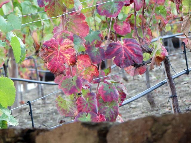 folhas vermelhas nas vinhas