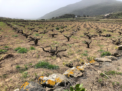Vines on Pantelleria grown in the vite ad alberello method.