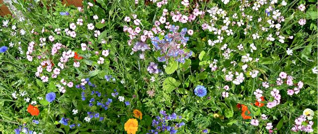 The wildflowers in my garden