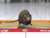 Tips Melepaskan Hewan Pengerat Dari Lem Tikus Yang Bagus