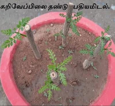planting the curry leaf cutting.