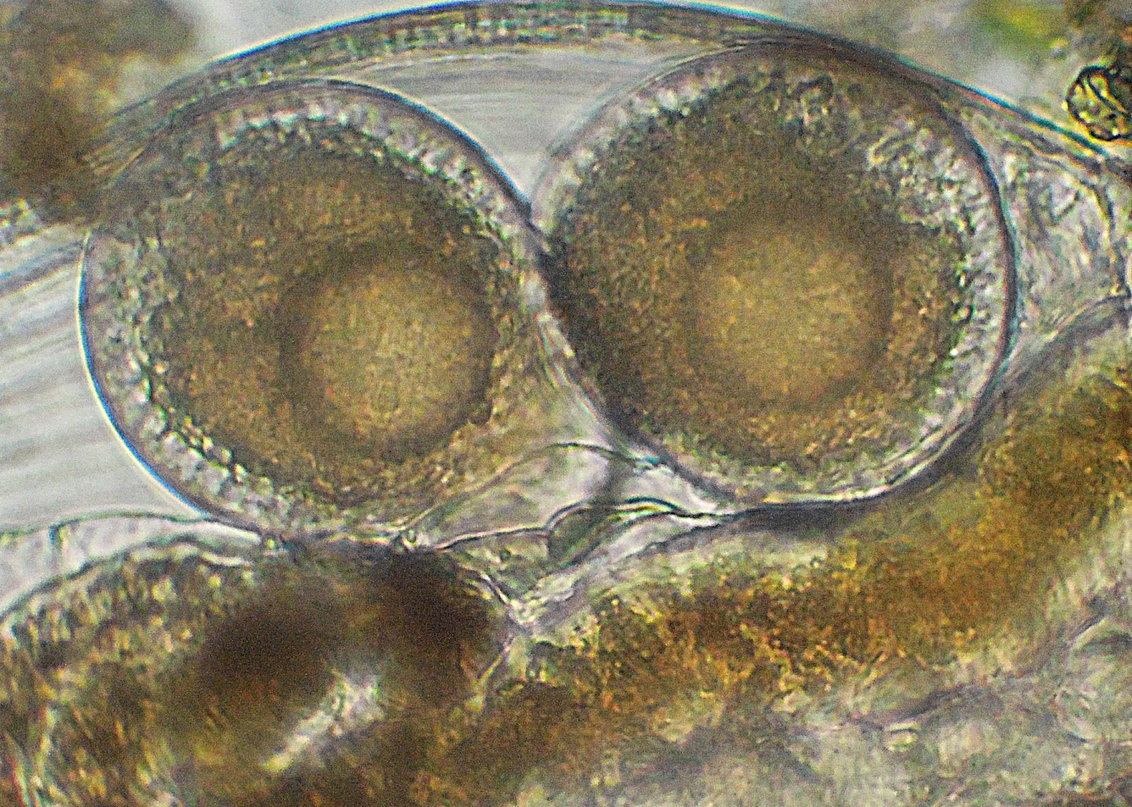 10 Vetrini Preparati Microscopio KONUS studio goccia acqua biologia