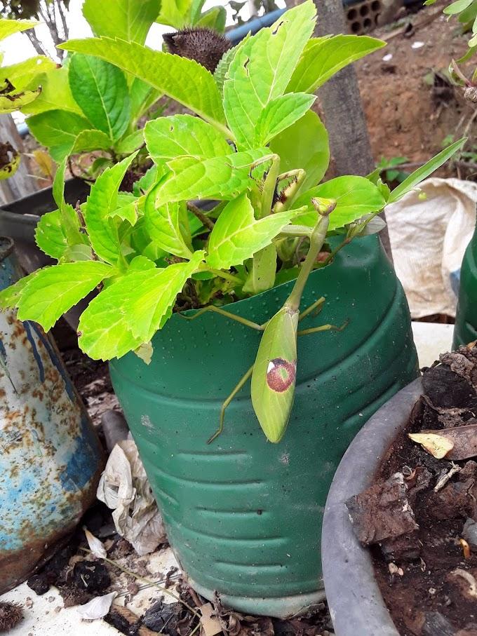 Moradora de JARU entra inseto estranho em suas plantas