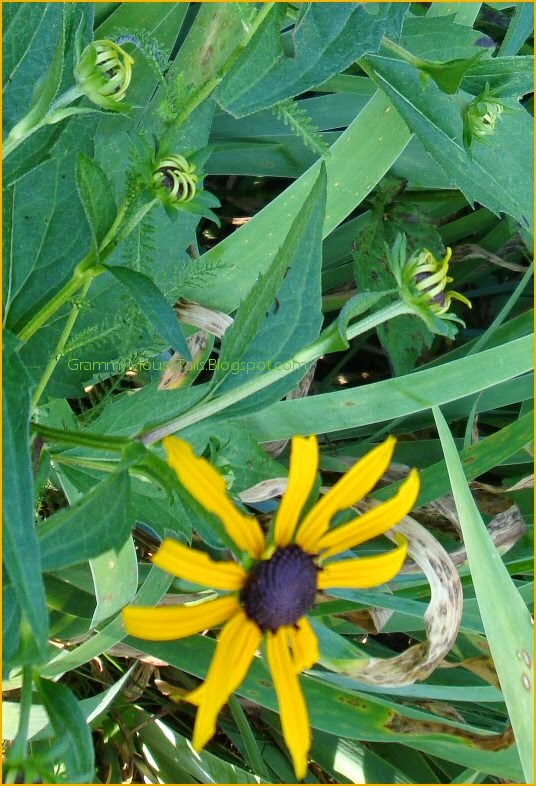 black-eyed susan - rudbeckia buds photo image