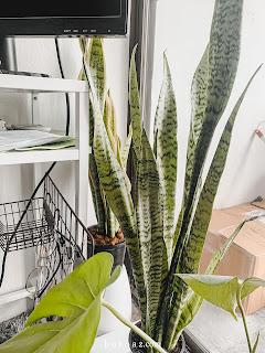 snake plant home decor