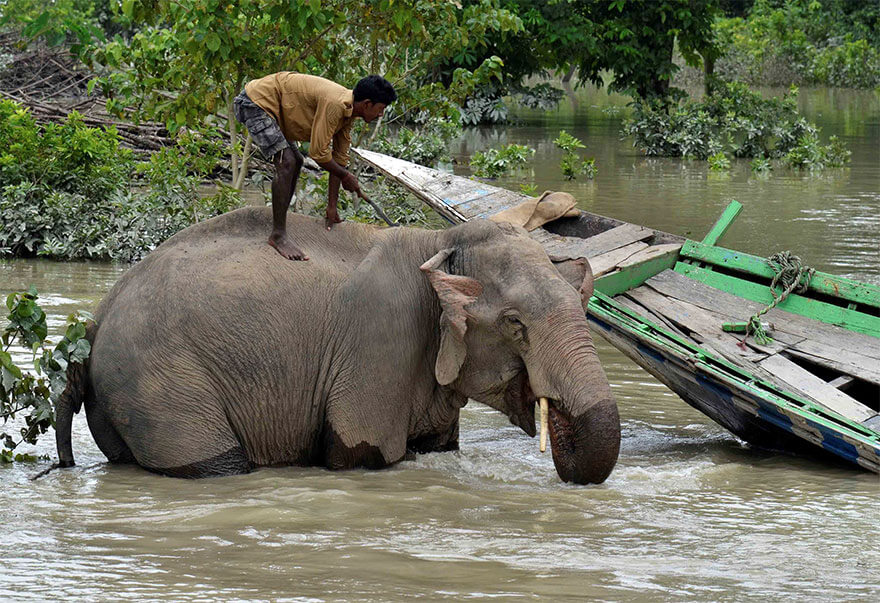18 Devastating Pictures Of The Flooding In South Asia That Will Shock You - A Mahout Bathes His Elephant Inside The Flooded Kaziranga National Park In Nagaon District, In The Northeastern State Of Assam, India