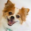 Pomeranian Pug Mix Temperament, Size, Lifespan, Adoption, Price