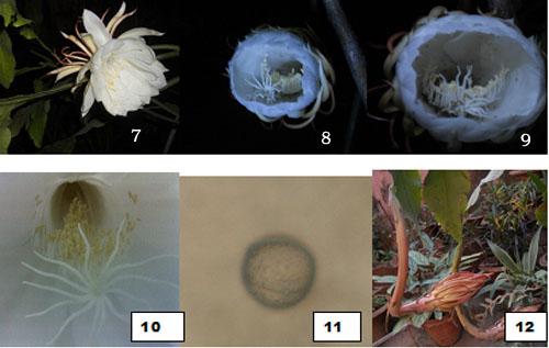 epiphyllum anguliger culture
