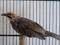 Burung Cucak Rowo - Konservasi yang Harus Dilakukan Sejak Sekarang Untuk Burung Cucak Rowo - Penangkaran Burung Cucak Rowo