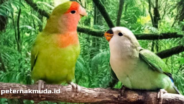How To Breeding Lovebird Steps